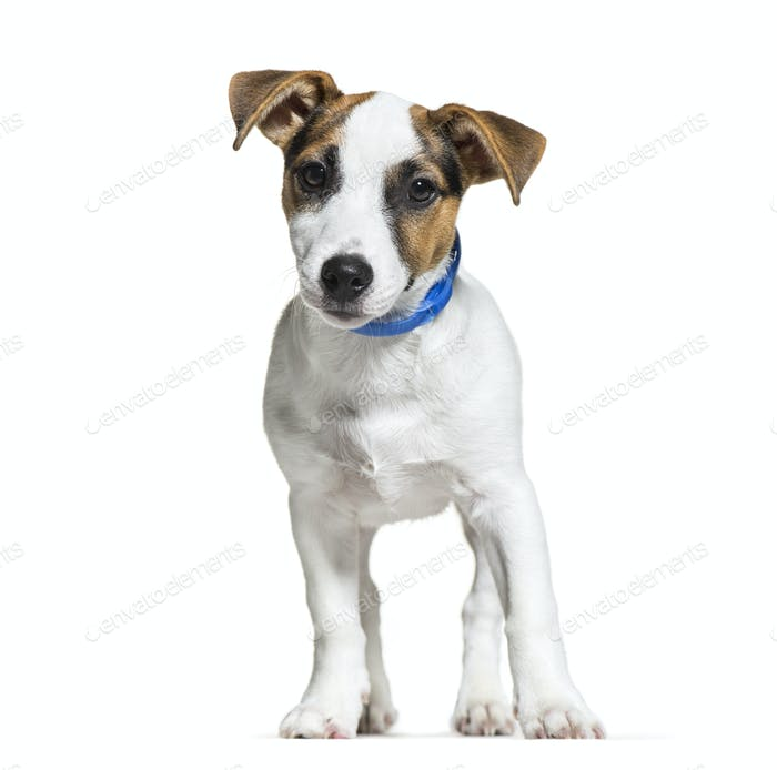 Jack Russell, 16 weeks old, in front of white background