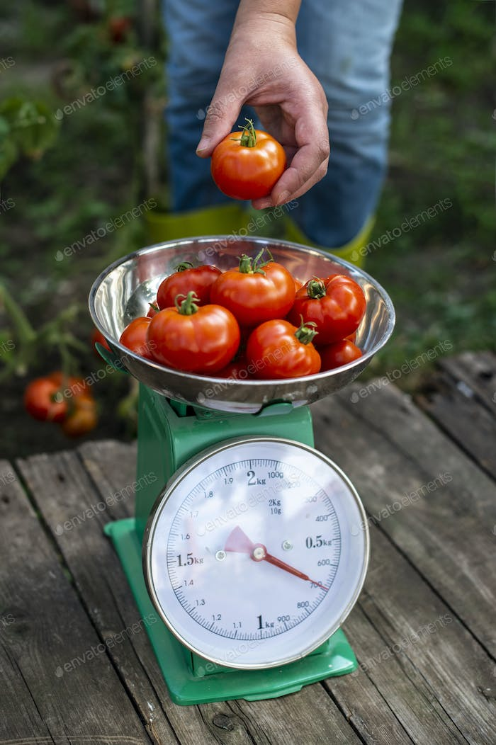 Woman puts tomatoes on scales. Home organic garden.