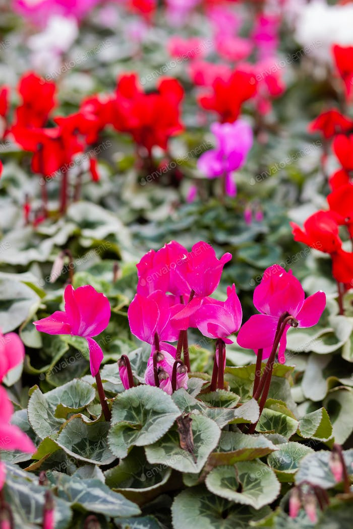 Pink cyclamen in a flower pot on blurred background.