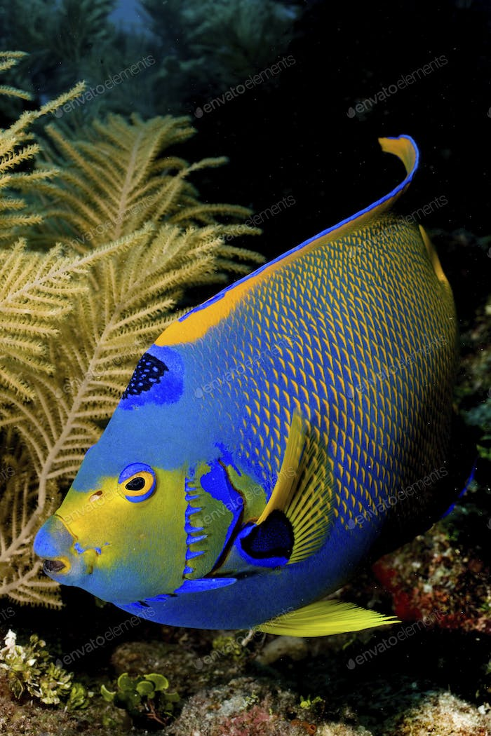 Queen angelfish (Holacanthus ciliaris) pauses near a Bipinnate sea plume (Pseudopterogorgia