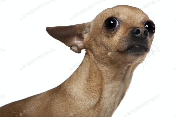 Chihuahua, 3 years old, in front of white background