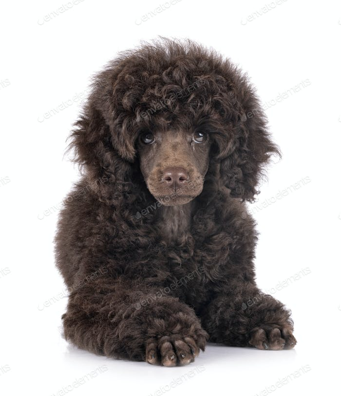 puppy toy poodle
