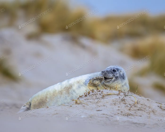 harbor seal pup with dunes in background
