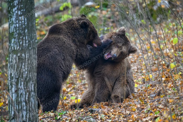 Two bears playing or fighting in the autumn forest. Danger animal in nature habitat. Big mammal