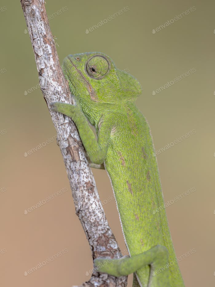 Close up of African chameleon on branch