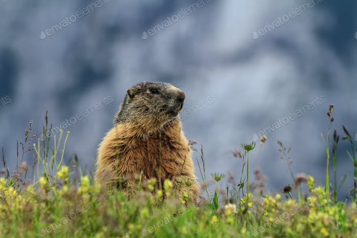 young marmot on alpine meadow