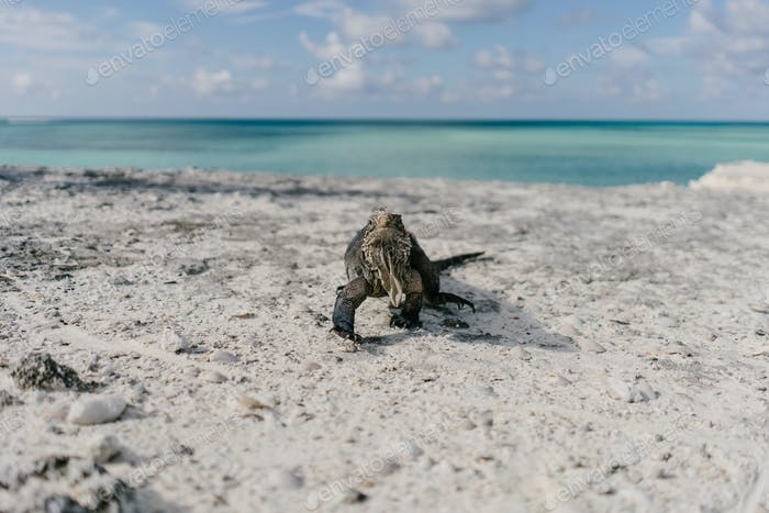 iguana on the beach of Cayo Largo in Cuba