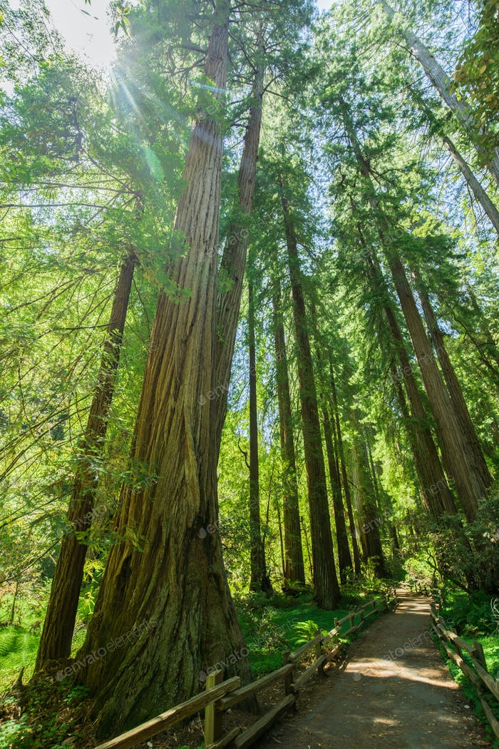 Giant redwoods in Muir Woods National Monument near San Francisc