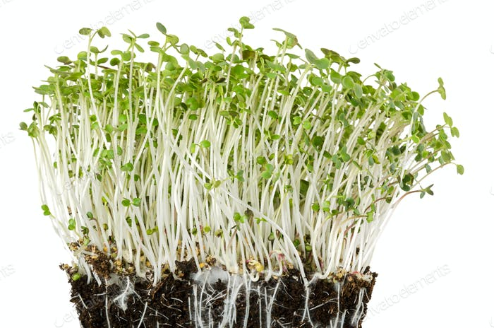 White mustard seedlings in potting compost front view
