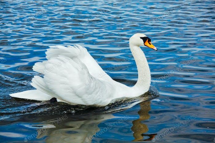 Mute Swan (Cygnus olor) in lake