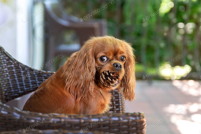 Funny dog with pine cone in mouth