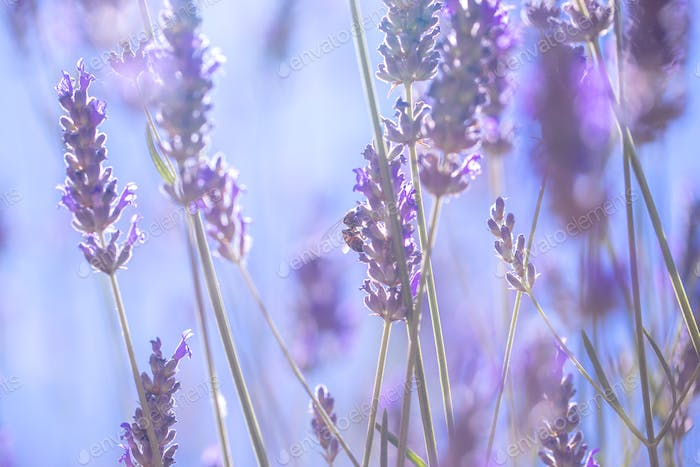 Gentle lavender flowers