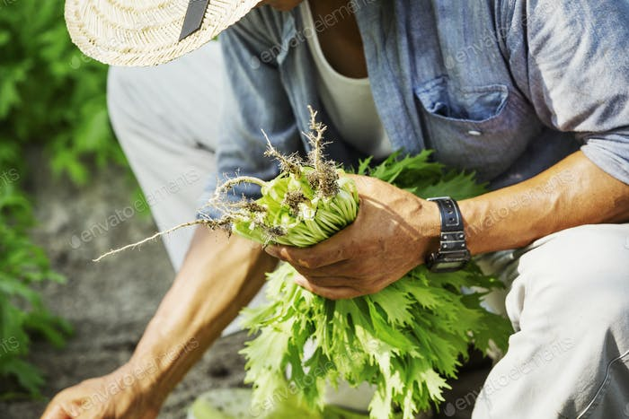 A ma working in a greenhouse harvesting a commercial crop, the mizuna vegetable plant.