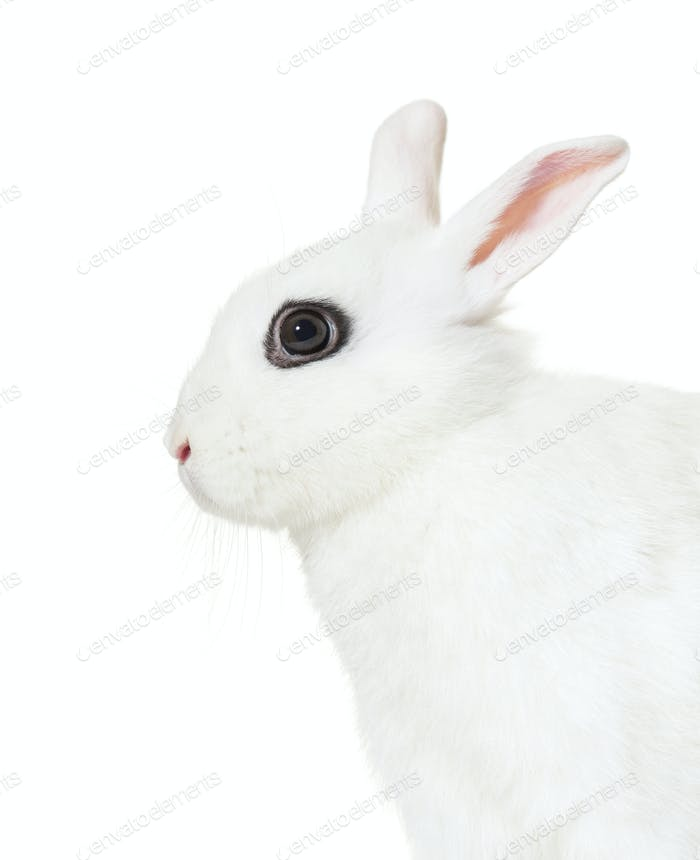 White Rabbit against white background