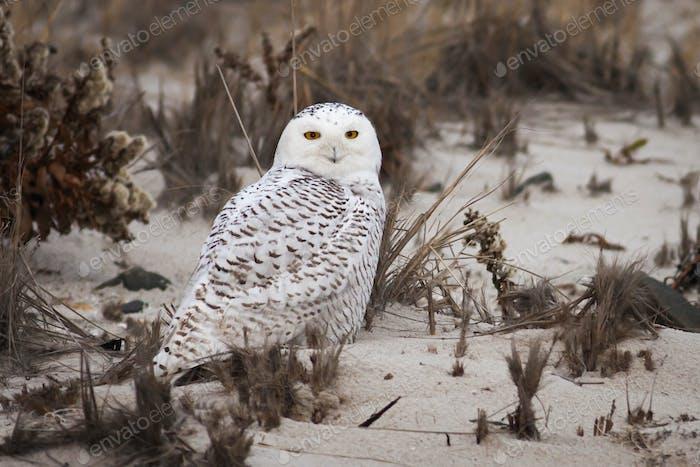 Snowy Owl standing on a sandy beach.