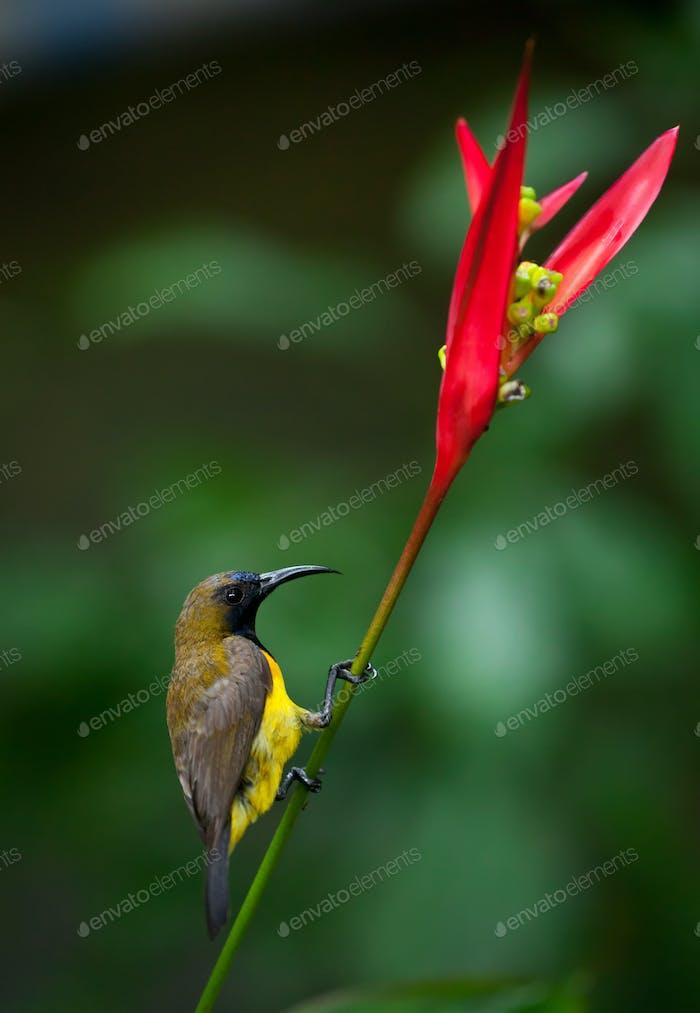 Olive-backed Sunbird ( Cinnyris jugularis