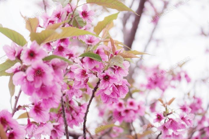 Schöne Farben von Sakura