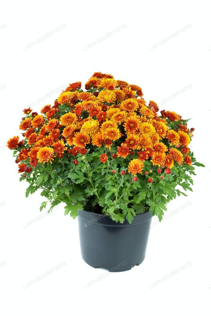Blumentopf mit orangefarbenen Chrysanthemen Blumen