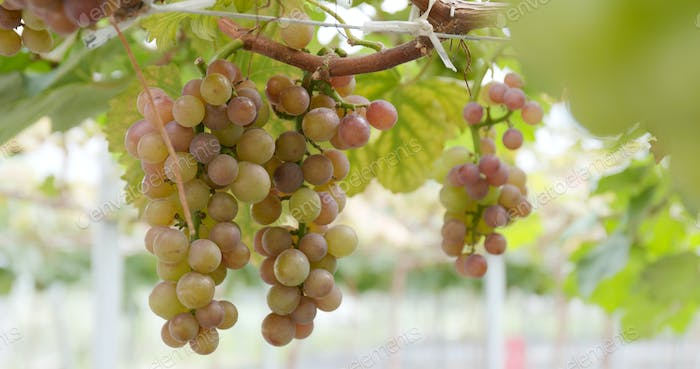 Fresh grape farm