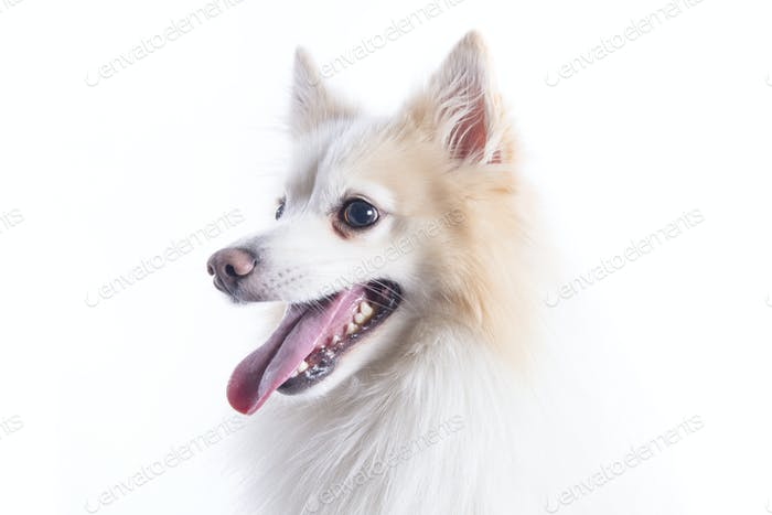 isolated portrait of a german spitz sitting