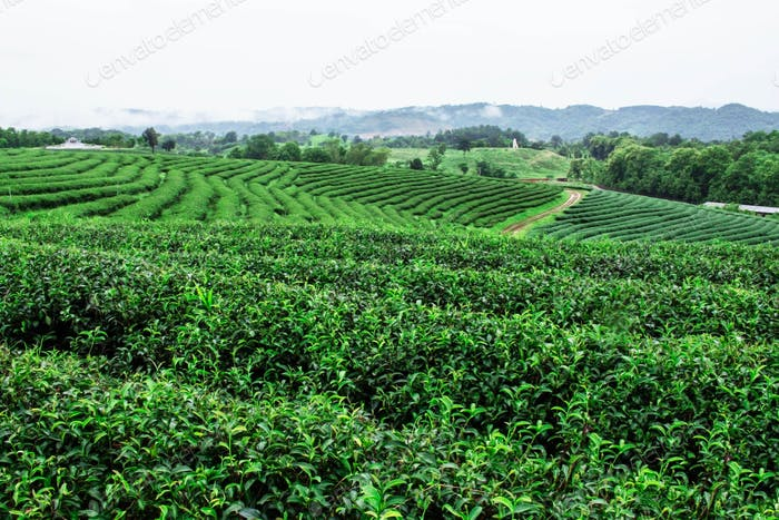 Tea plantation with refreshing in rainy season
