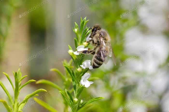 Honeybee collecting nectar from thyme flowers