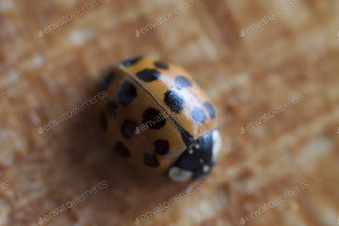 orange ladybeetle