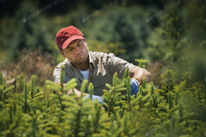 A man wearing protective gloves clipping a crop of conifers in a plant nursery.
