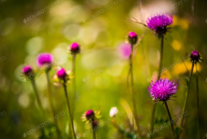 Abstract background of Alpine flowers. Milk Thistle in Alpine me