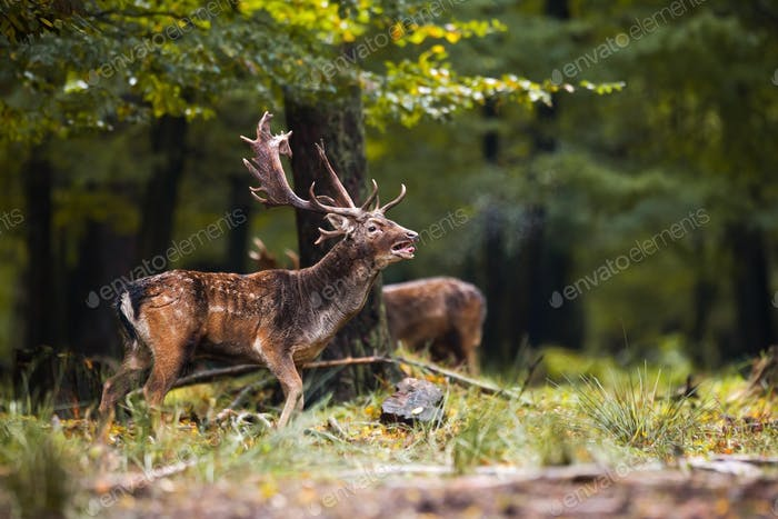 Fallow deer roaring with the female sniffing in the forest in the rutting season