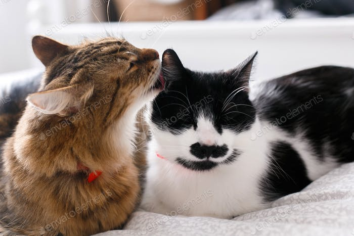 Maine coon licking and cleaning his funny friend cat with moustache