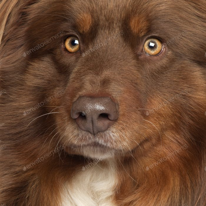 Close-up of Australian Shepherd dog