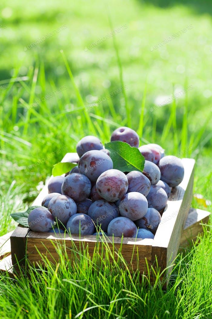 Garden plums in wooden box