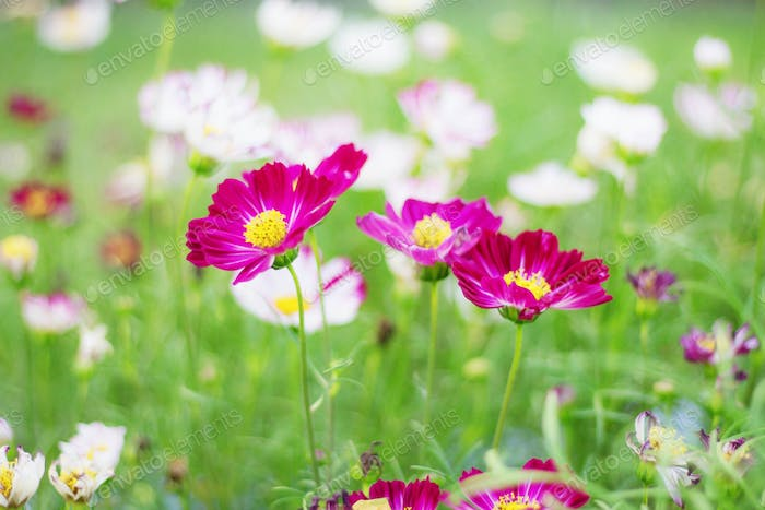 Cosmos flower with colorful