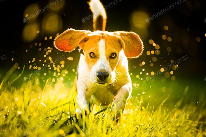 Dog, pure breed beagle jumping and running like crazy through morning dew in autumnal sunlight