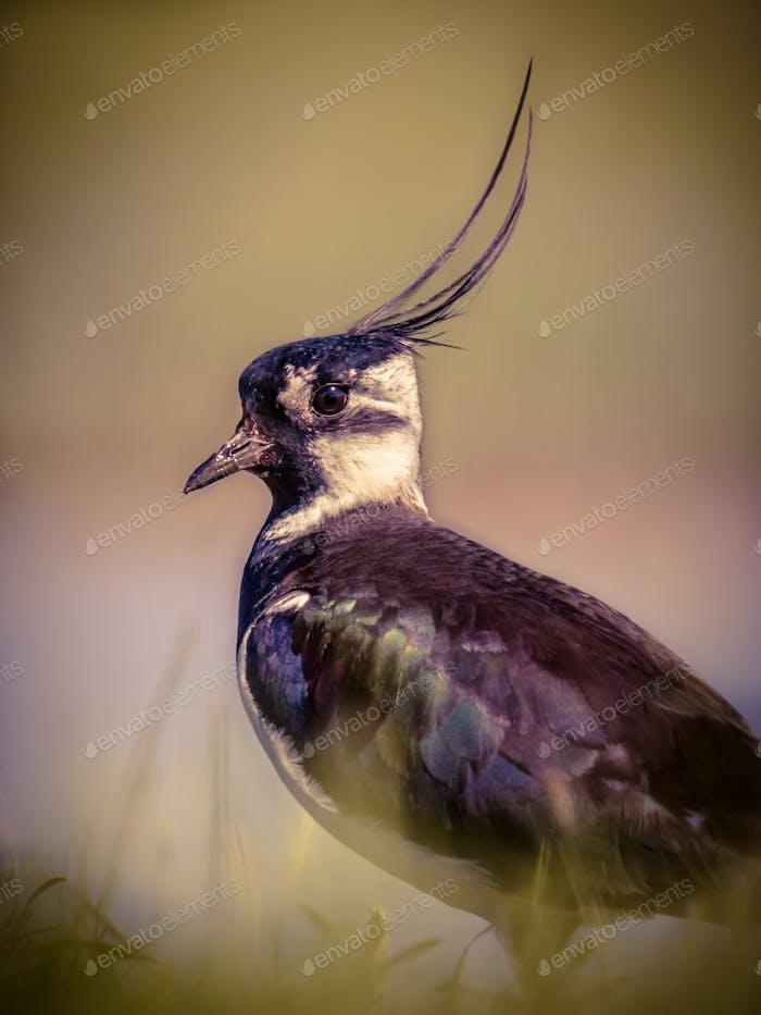 Vertical portrait of Northern lapwing in grassland habitat in vi