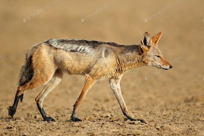 Black-backed jackal in natural habitat
