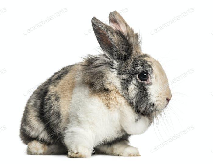 Domestic rabbit sitting, isolated on white