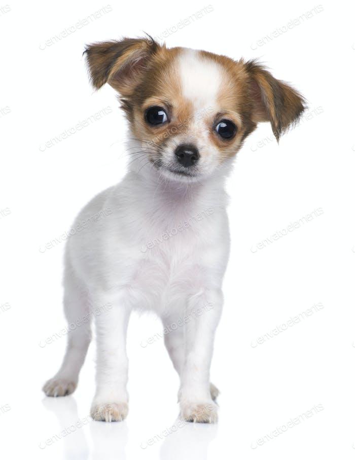chihuahua puppy (3 moths)