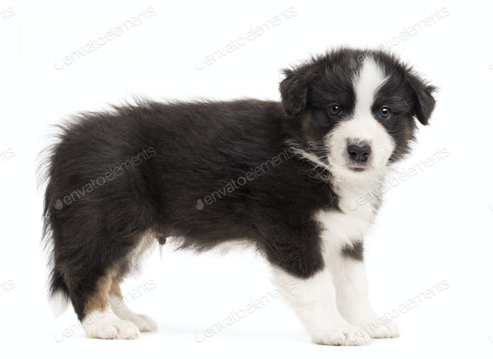 Side view of an Australian Shepherd puppy standing and portrait against white background