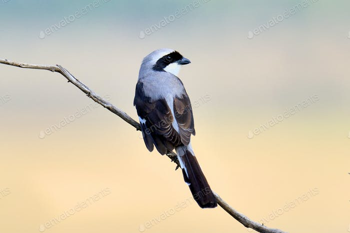 Fiscal bird on a branch