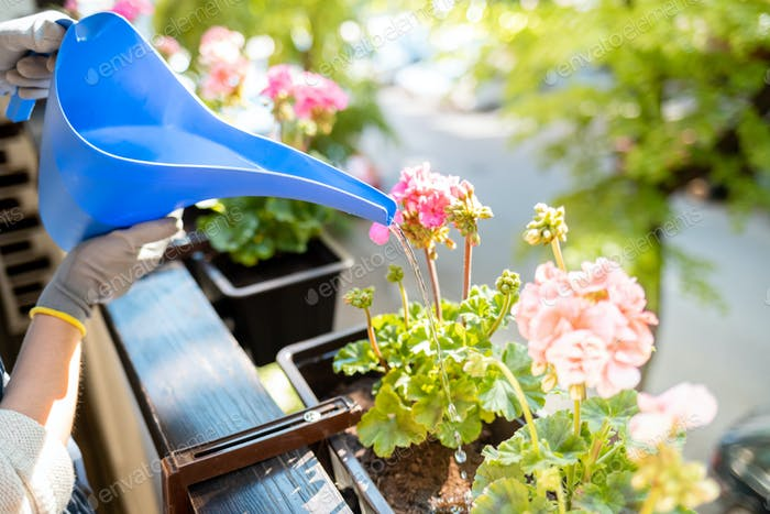 Frau Bewässerung Blumen auf ihrem Balkon während des sonnigen Frühlingstages, Gartenarbeit zu Hause