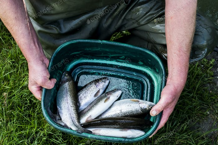 High angle close up of person holding green bucket with freshly caught trout at a fish farm raising