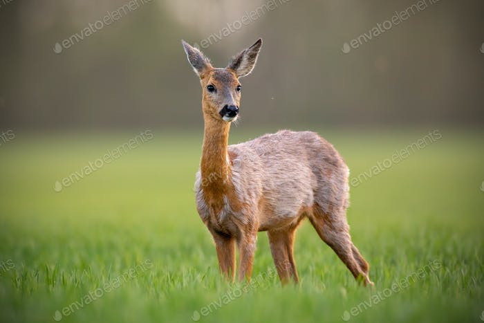 Roe deer, capreolus capreolus, doe female in spring standing on a meadow