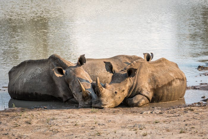 White rhinos laying together by the water.