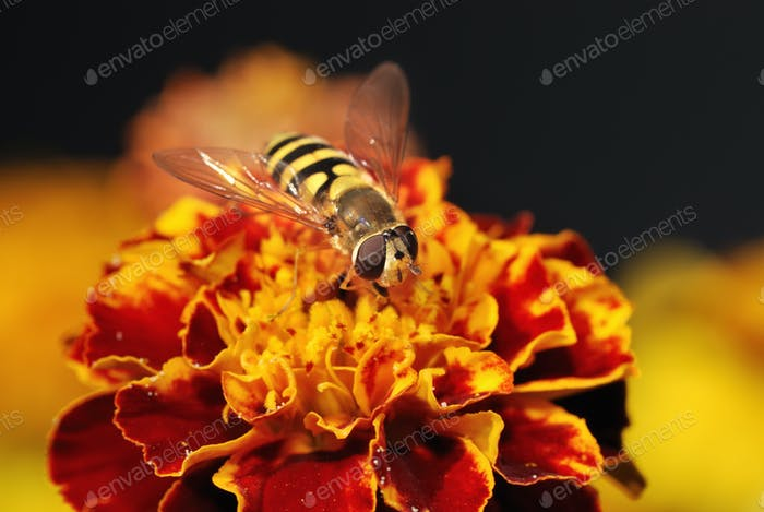 Hoverfly on a orange blossom