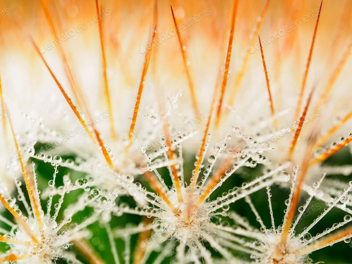 long needles of succulent, water drops or dew on the spines of cactus, macro, close up
