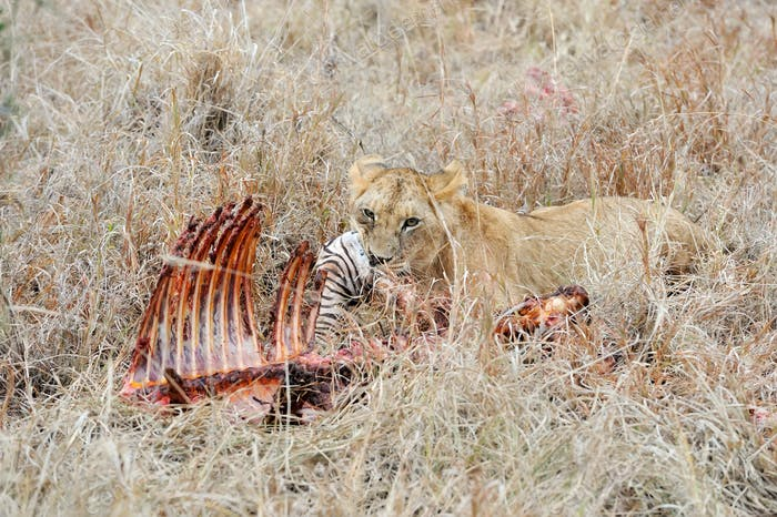 Lions eating a zebra