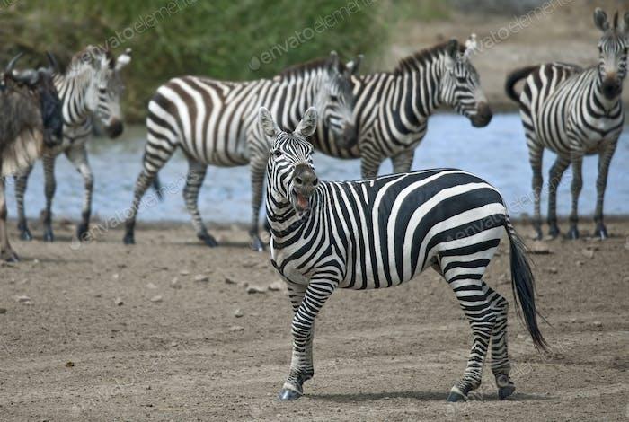 Zebra in Serengeti National Park, Tanzania, Africa