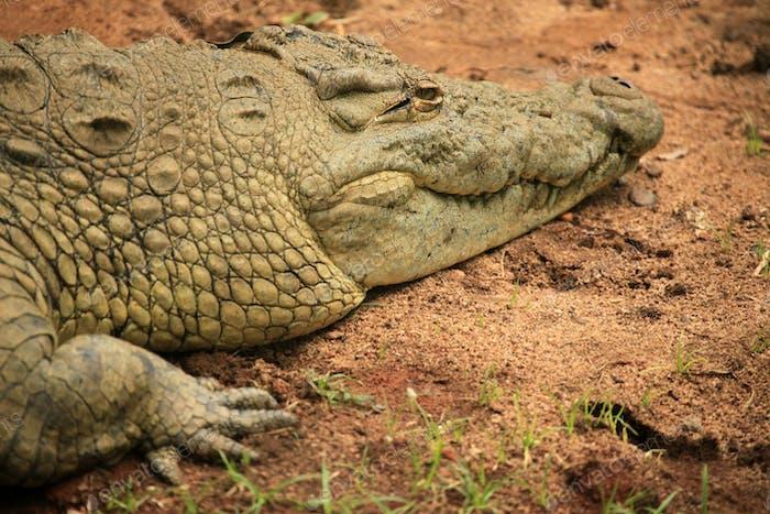 Crocodille - African Wildlife